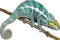chameleoni