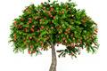 ovocne-stromy