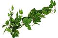 popinave-rostliny